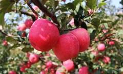 苹果新品种神富一号(烟富8)的选育