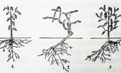 果树根系的类型与结构