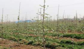 幼树整形与土肥水管理