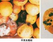 苹果灰霉病