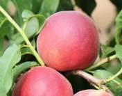 6月份成熟的几个桃品种
