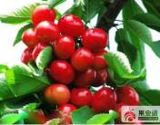 甜櫻桃的優良品種及品系