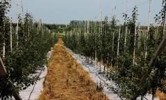 烟台苹果产业存在问题与发展对策