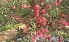 短枝型苹果新品种-神富6号优良性状试验分析