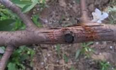 营养失衡是我国苹果树腐烂病大流行的主要原因