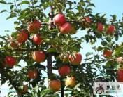 蘋果中晚熟品種:清明