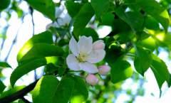 生物学特性——芽、枝和叶的生长特性