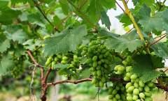 2017年鲜食葡萄周年施肥方案