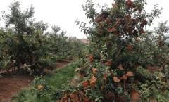 花果管理——果实套袋、摘叶、转果和铺反光膜
