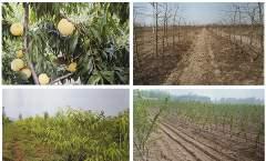 优质黄桃现代高效栽培技术