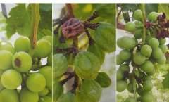 葡萄果实日烧病的发生与防治