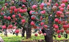 果树一生中的生长发育规律