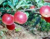 美國8號蘋果