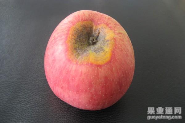 14、赤星病(梨锈病)危害果(3).JPG