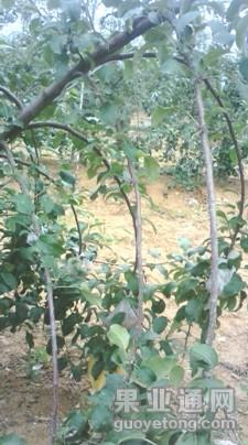 第9期-《蘋果的花芽怎樣形成》-楊增生  互動內容