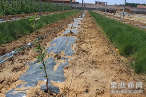 苹果幼树抽条要早预防