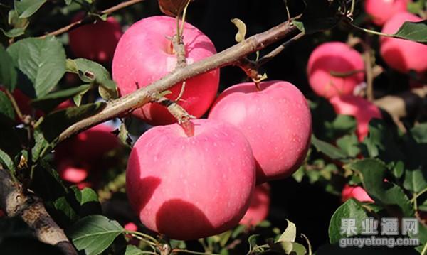 合理管理苹果才不会有大小年