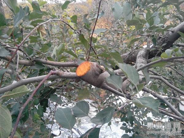 关于秋季割大枝的利弊辩论!