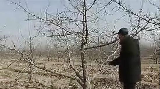 視頻教你如何剪好蘋果樹