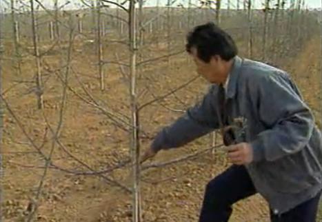 蘋果樹四季修剪和品種修剪