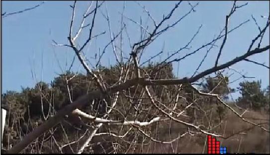 盛果期蘋果樹冬季修剪技術