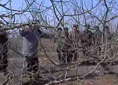 蘋果樹的周年修剪