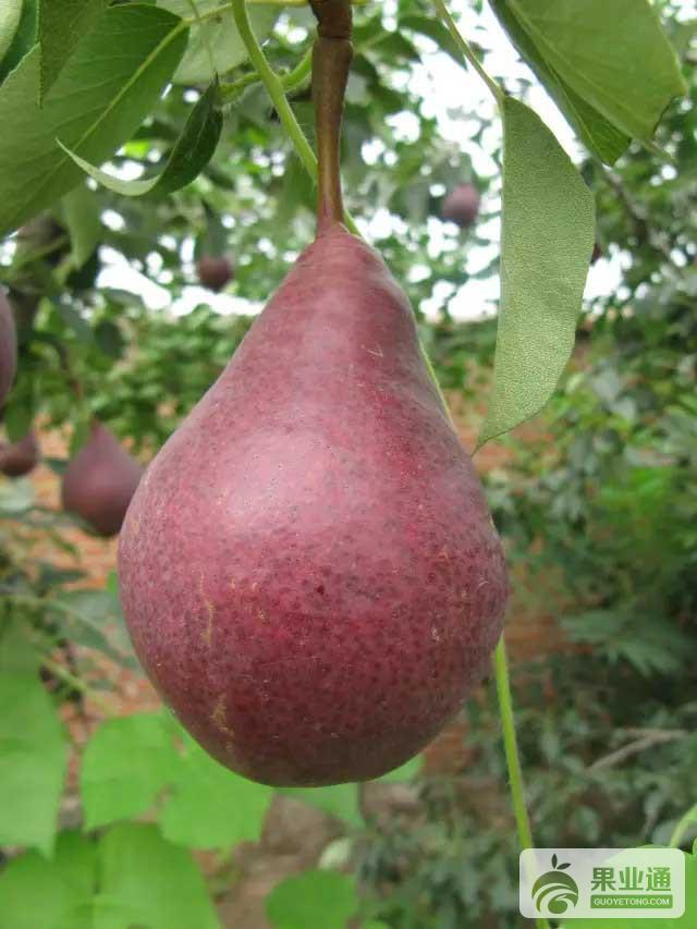 最新梨品种介绍
