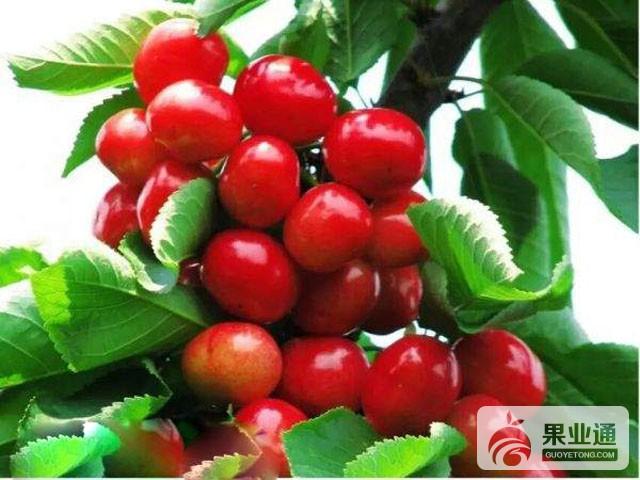 甜樱桃的优良品种及品系