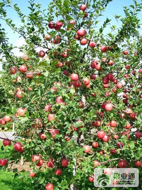 苹果中晚熟品种:凉香