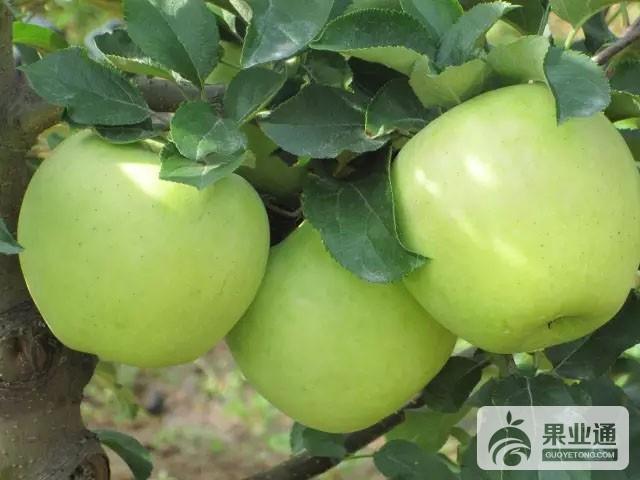 苹果中晚熟品种:名月