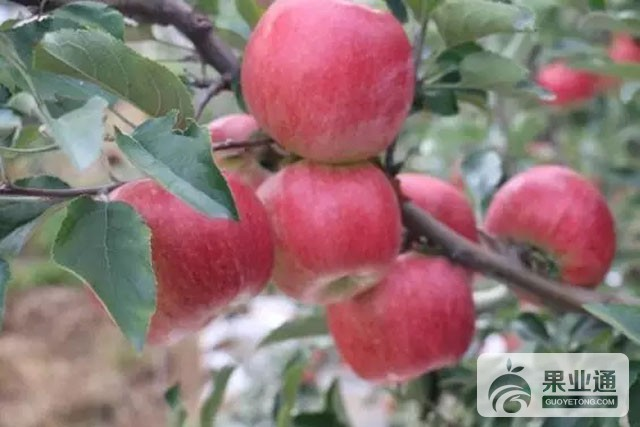 苹果中晚熟品种:青研红