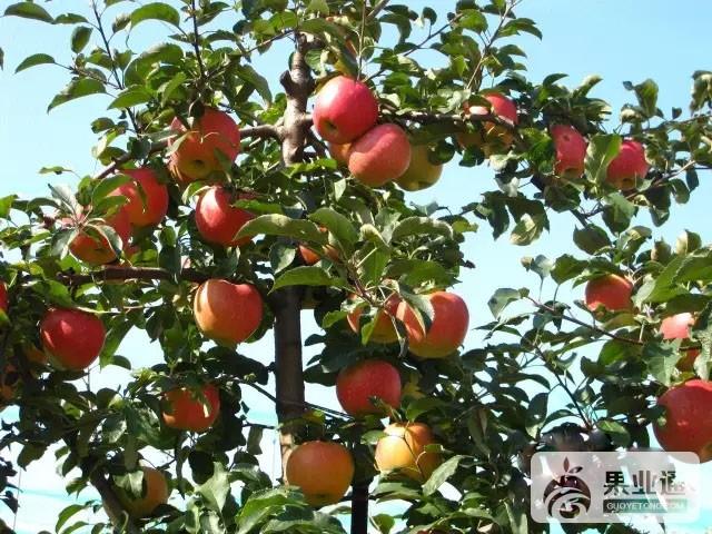 苹果中晚熟品种:清明