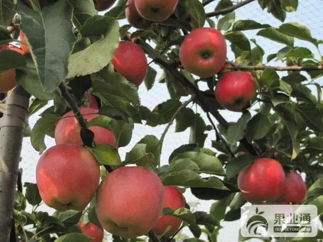 苹果中晚熟品种:斗南