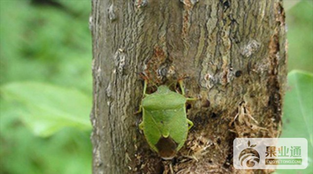 绿盲蝽在枣树上暴发成灾的原因及防治方法