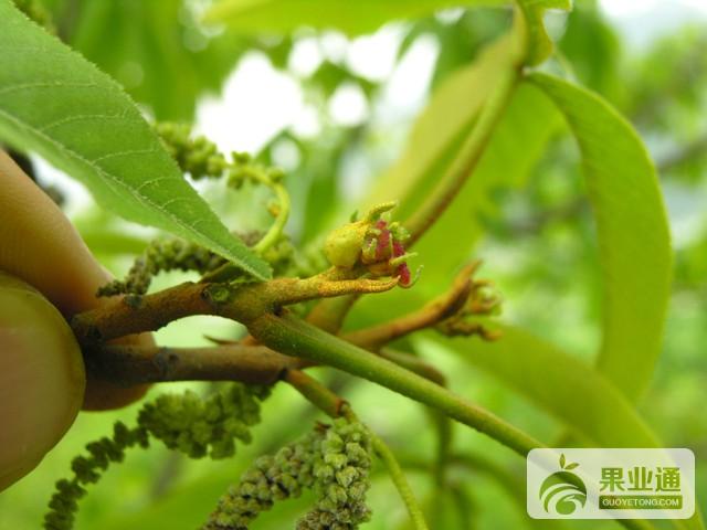山核桃花蕾蛆防治