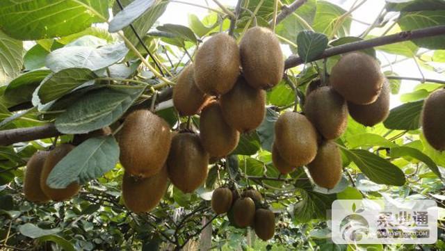 獼猴桃氣象病害的防治