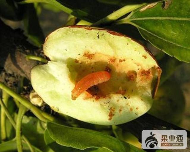 枣树主要虫害及其防治措施