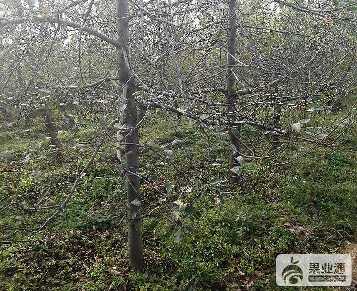 蘋果樹的整形修剪指標