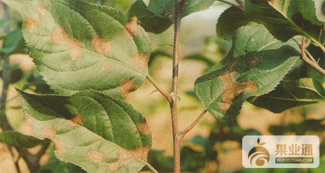 第17期《蘋果采收前后果園管理(一)》-劉增魁互動內容