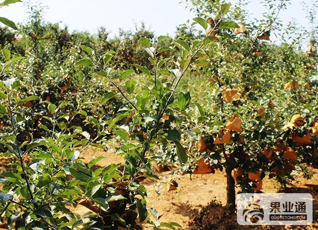 蘋果樹不同時期樹齡整形、修剪原則