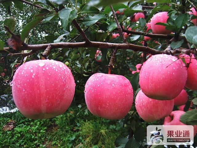 富士系蘋果的修剪特點
