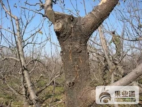 我的果樹多年不形成翹皮的小絕招