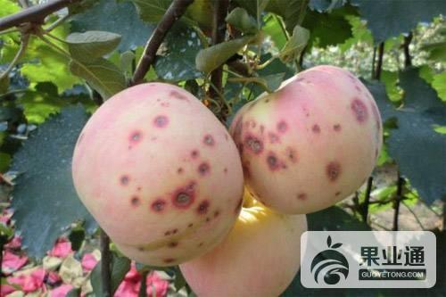 第31期《神富一號蘋果施肥技術》——互動內容