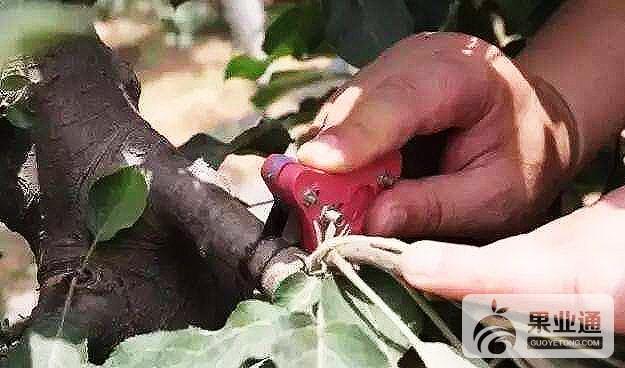 果樹環剝的具體措施