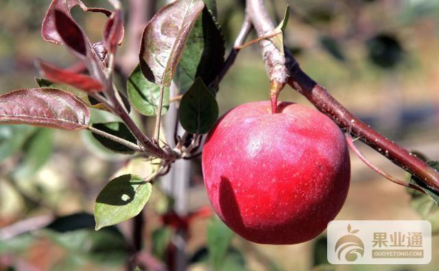 """红肉苹果:""""玖红"""""""