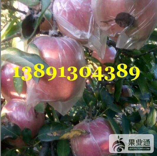 苹果-红富士苹果树上2.JPG