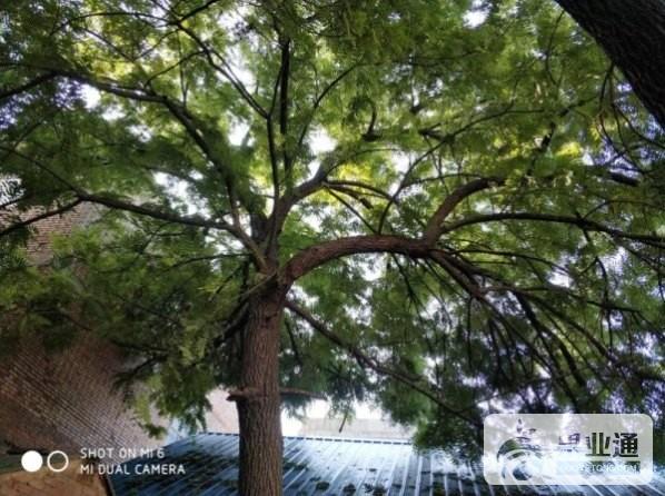 2-美国黑核桃种子树.jpg