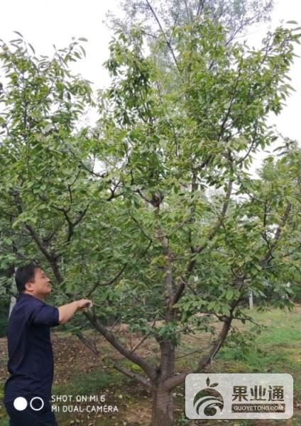 1-欧洲樱桃树-100.jpg