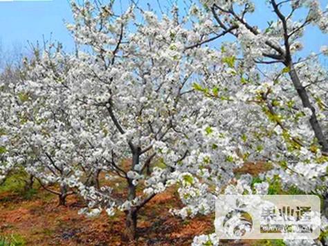 2-欧洲樱桃树-100.jpg