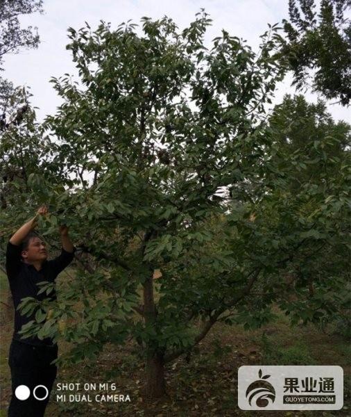 3-欧洲樱桃树-100.jpg